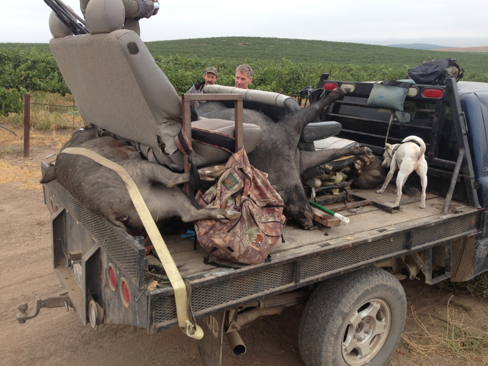 Img 0053 California Wild Hog Pig Hunting All Season Outfitters